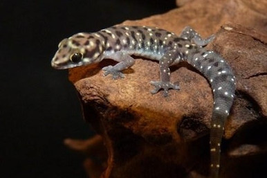African Tiger Gecko - Pachydactylus tigrinus
