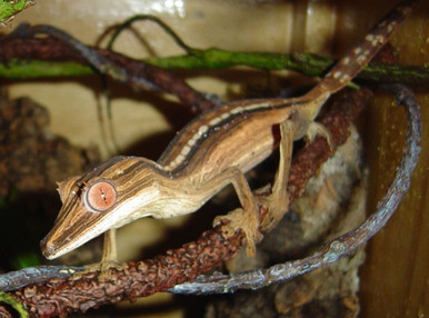 Leaf-Tail Lined Gecko - Uroplatus lineatus