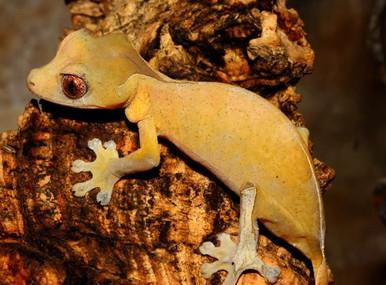 Leaf-Tail Spearpoint Gecko - Uroplatus ebenaui