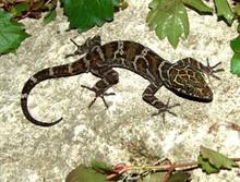 Malaysian Banded Forest Gecko - Cyrtodactylus consobrinus