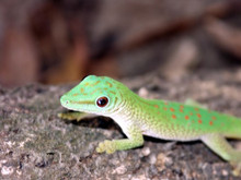 Madagascar Giant H. boivini Gecko - Phelsuma madagascariensis