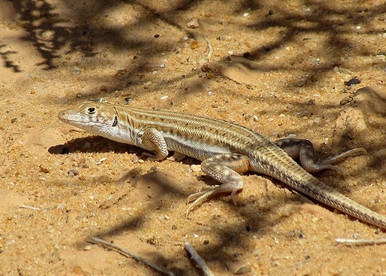 BoskÍs Fringe-Toed Lizard - Acanthodactylus boskianus