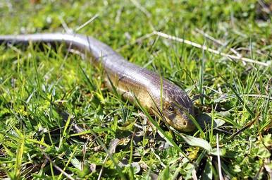 European Giant Legless Lizard - Pseudopus apodus - European Legless Lizard - Glass Lizard