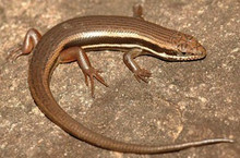 Red Sided Skink Lizard - Trachylepis homalocephala