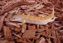 Sandfish Skink Lizard - Scincus scincus