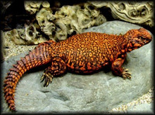 Morrocan Uromastyx - Uromastyx acanthinurus