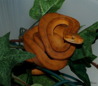 Amazon Tree Halloween Phase Baby Boa - Corallus hortulanus