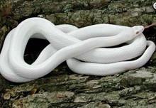 Albino Cornsnake - Elphae guttata guttata