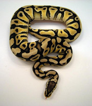 Ball Pastel Python - Python regius