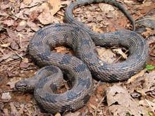 Brown Water Snake - Nerodia taxispilota