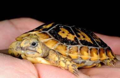 African Pancake Tortoise - Malacochersus tornieri