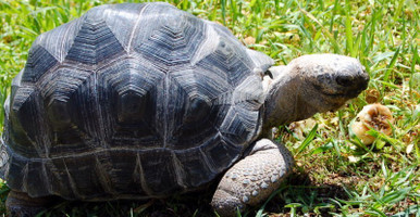 Aldabra Tortoise - Geochelone gigantea