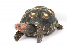 Cherry Head Red Foot Tortoises (Adult) - Geochelone carbonaria
