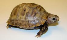 Elongated Tortoises - Inditestudo elongata