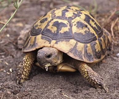 Hermans Tortoises (Adult) - Testudo hermanni