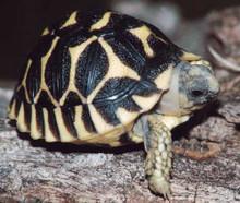 Indian Star Tortoises - Geochelone Elegans