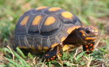 Red Footed Tortoises (Adult) - Geochelone carbonaria