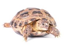 Russian Tortoises - Testudo horsfeldi