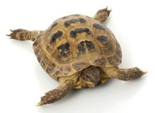 Russian Tortoises (Adult) - Testudo horsfeldi