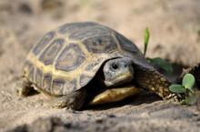 Speke's Hingeback Tortoise - Kinixys spekii