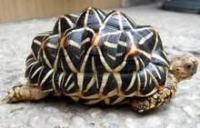 Sri Lankan Star Tortoises (Adult) - Geochelone Elegans