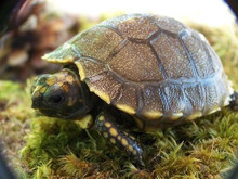 Yellow Footed Tortoises - Geochelone denticulata
