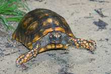 Yellow Footed Tortoises (Adult) - Geochelone denticulata