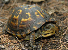The Eastern Box Turtle - Terrapene carolina - Eastern Turtle