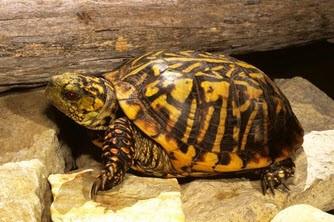 Ornate Box Turtles - Terrapene ornata - Western Box Turtle