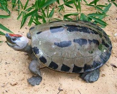 Painted River Terrapin - Callagur borneoensis - Borneo Painted Deep River Turtle