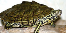 Cagle's Map Turtle - Graptemys caglei - Cagle Map Turtle
