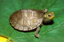 The Common Map Turtle - Graptemys geographica - Common Map Turtles