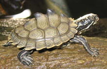 Southern Black Knobbed Map Turtle - Graptemys nigrinoda delticola - Delta Map Turtle