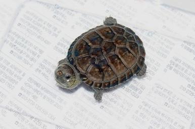 Chiapas Giant Musk Turtle - Staurotypus salvinii - SalvinÍs Musk Turtle