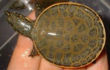 Florida Soft Shelled Turtle - Apalone spinifera