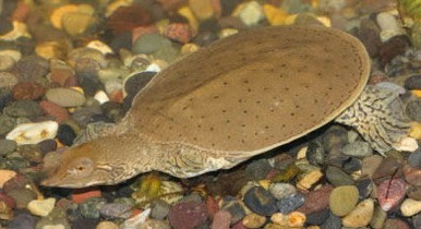Leopard Soft Shell Turtles - Apalone spinifera