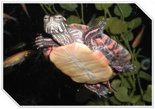 Eastern Painted Turtles - Chrysemys Picta Picta