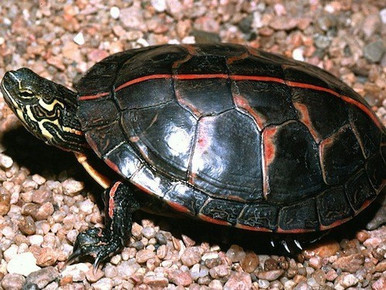 Southern Painted Turtles - Chrysemys picta dorsalis - Southern Painted Turtles