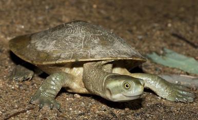 Murray River Turtle - Emydura m. macquarii - Macquarie Turtle - Murray Short Neck Turtle