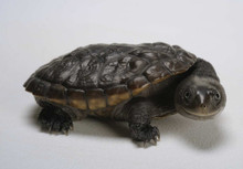 Reimann's Snake Necked Turtle - Chelodina reimanni - Reimann's Snake Turtle