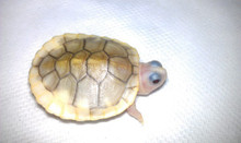 Caramel Pink Albino Red Eared Slider - Trachemys scripta elegans - Red Eared Slider Turtles