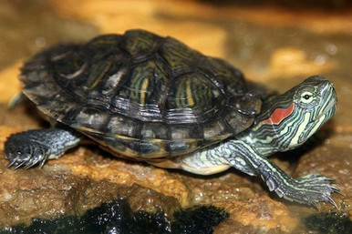 Red Eared Slider - Trachemys scripta elegans - Red Eared Slider Turtles