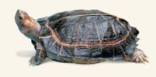 Asian Wood Turtles - Heosemys grandis - Giant Asian Pond Turtle