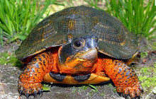 North American Wood Turtles - Glyptemys Insculpta - North American Turtles