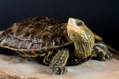 Western Caspian Pond Turtle - Mauremys caspica rivulata - Striped-Neck Terrapin