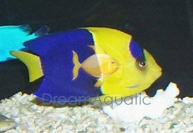 Bicolor Angelfish - Centropyge bicolor - Bicolor Angel Fish