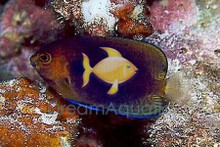 Fisher's Angelfish - Centropyge fisheri - Fisher's Angel Fish
