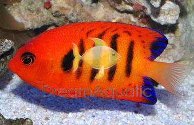 Flame Angelfish - Centropyge loriculus - Flame Angel Fish