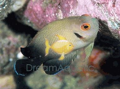 Half Black Angelfish - Centropyge vroliki - Half-Black Angel Fish