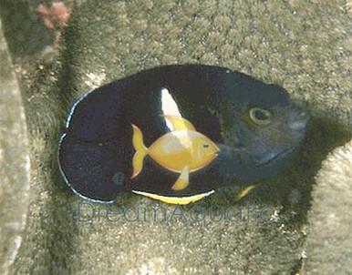 Keyhole Angelfish - Centropyge tibicen - Keyhole Angel Fish - Pygmy Angel
